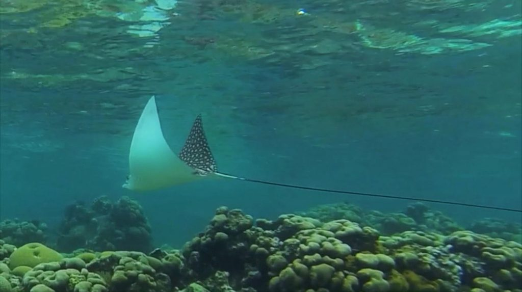 Spotted eagle ray San Blas