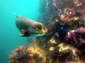 Bump head Parrot fish