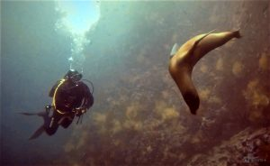 Sea lion and diver