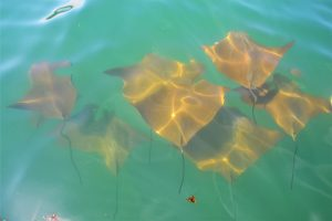 Golden sting rays