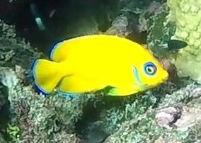 Hanamenu yellow fish 1